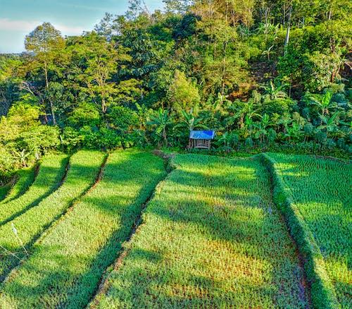 Rice plantation in tropical Asian farm