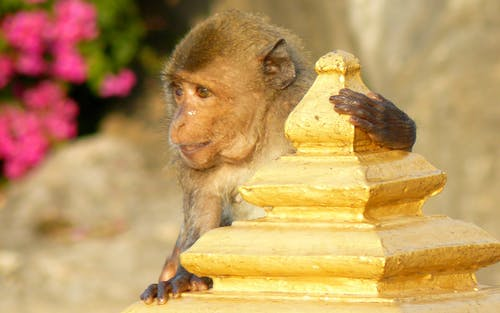 Free stock photo of asia, macaque, monkey