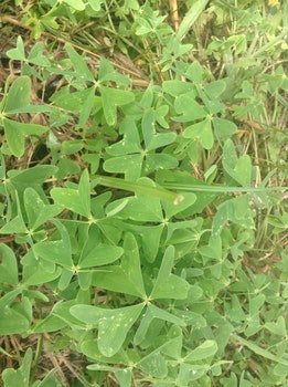 Free stock photo of luck, green, lucky charm, clover