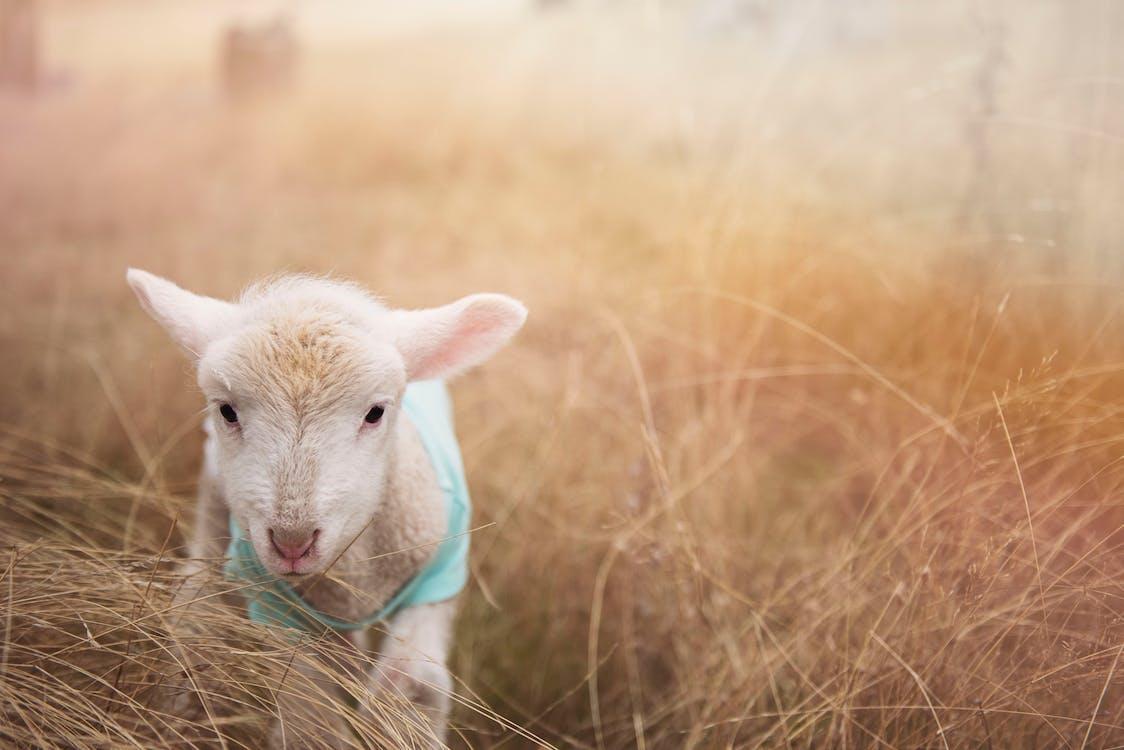 White Goat Kid on Grass
