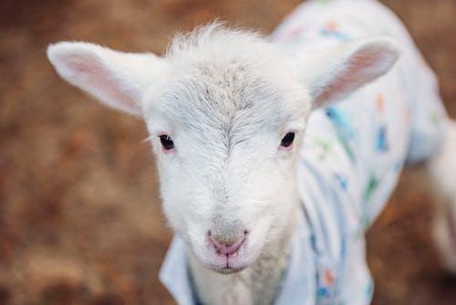 Foto d'estoc gratuïta de adorable, animal, bestiar, bufó