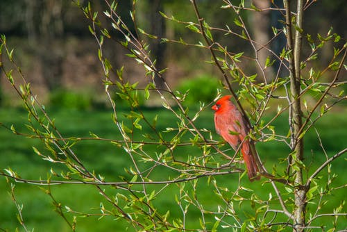 Selective Focus Photo of a Red Northern Cardinal Perched on the Twigs of a Plant