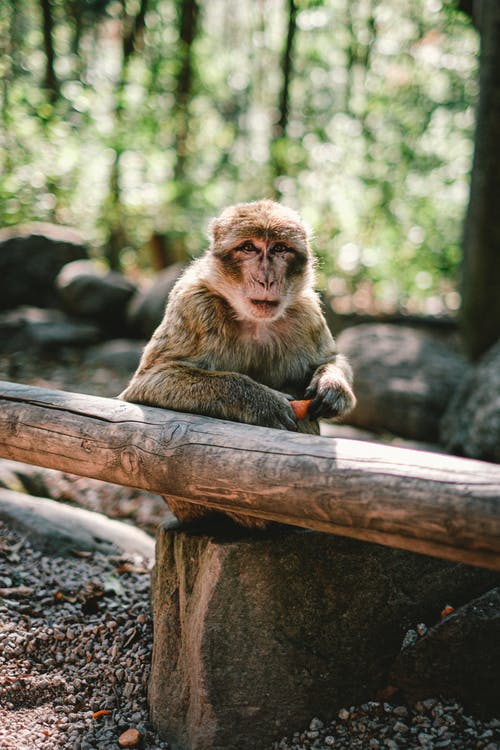 Brown Monkey Sitting on Brown Wooden Tree Branch