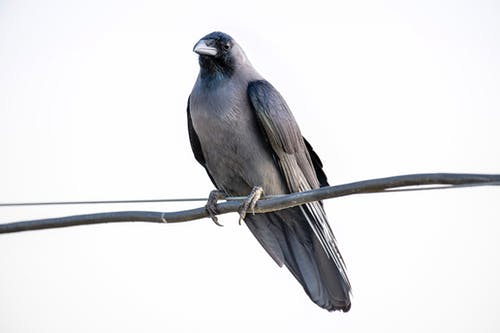 Low angle of jackdaw with black plumage sitting on leafless tree sprig against cloudless sky on white background in nature