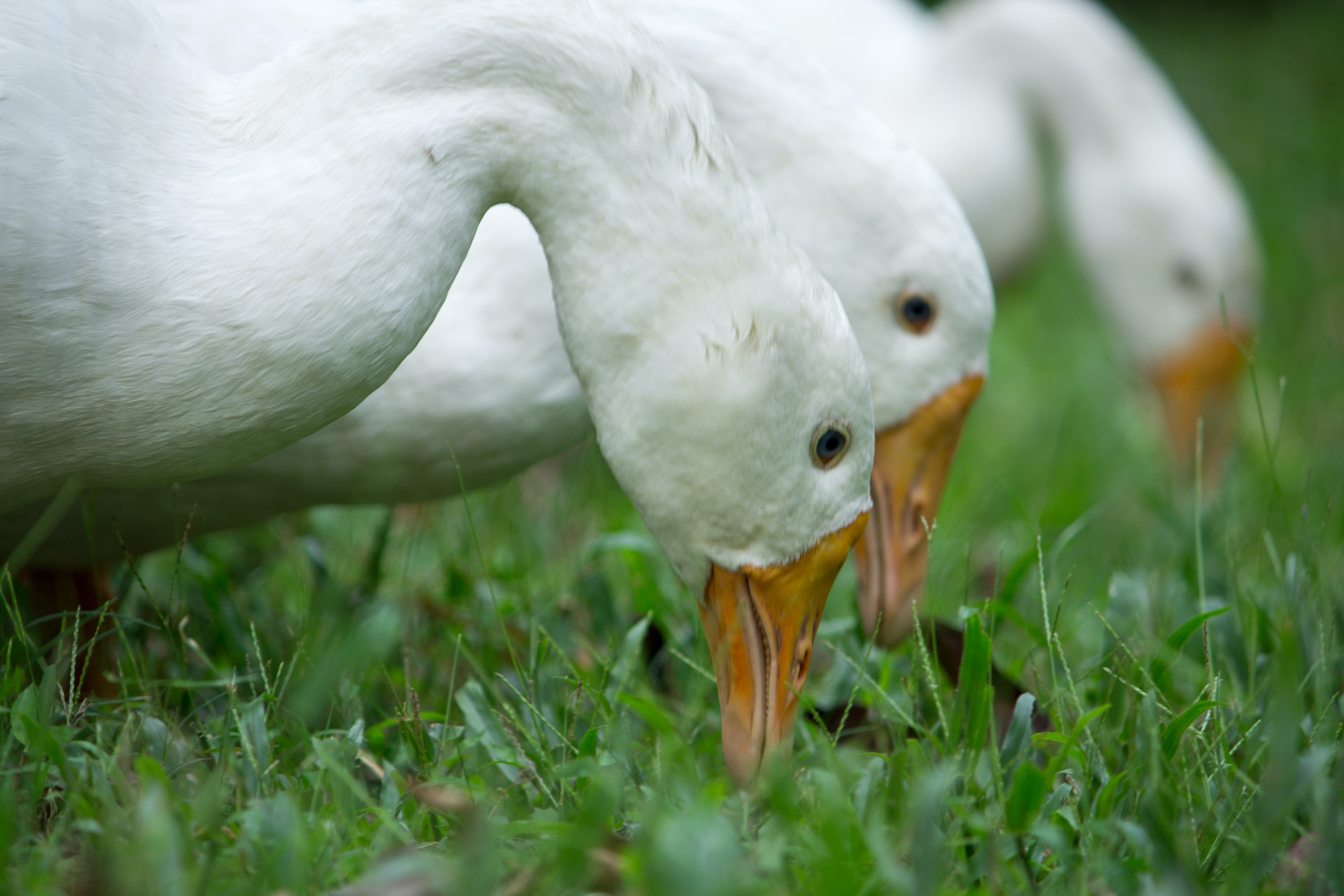 Three White Ducks