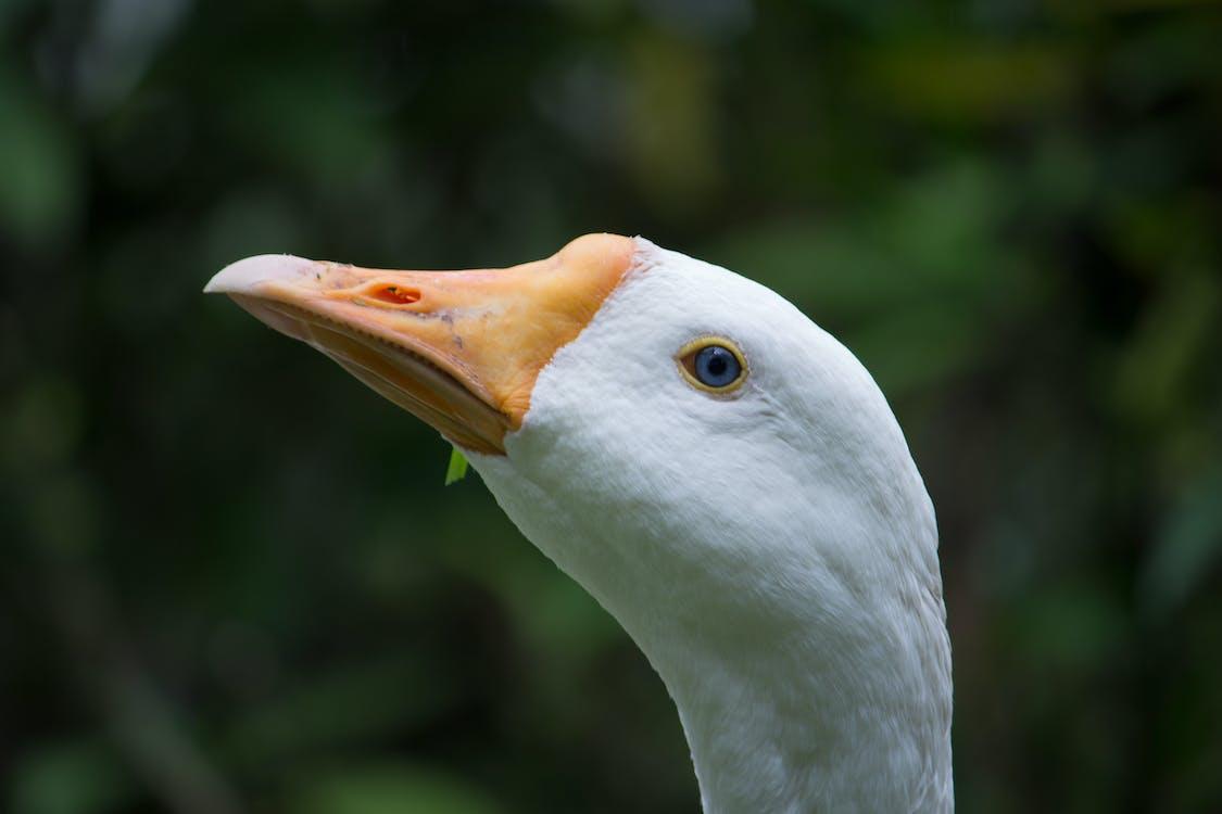 белый, голубые глаза, дикая утка