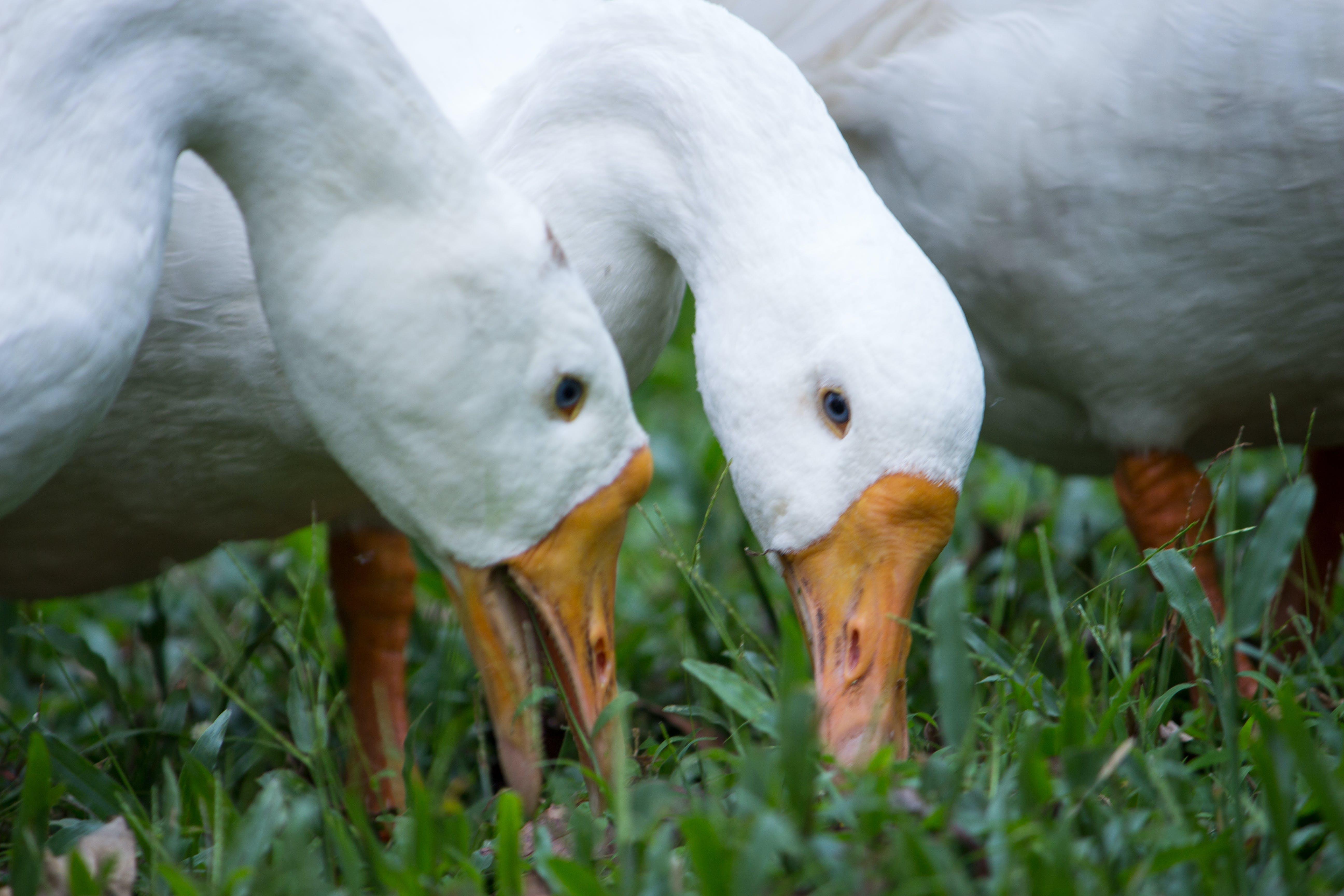 Free stock photo of blue eyes, duck bird, ducks, eating