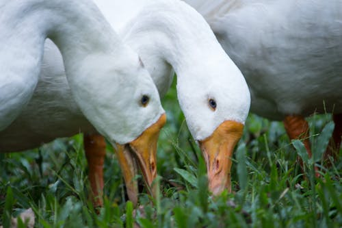 Free stock photo of blue eyes, duck bird, ducks, eating
