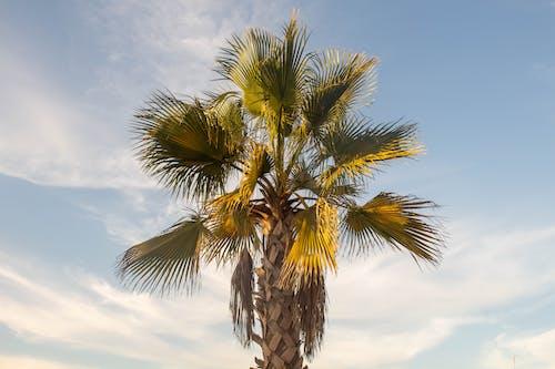 A Fan Palm Tree Under a Blue Sky