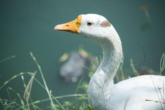 White Domestic Goose Near a Water Closeup Photo