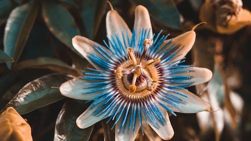 Fotos de stock gratuitas de estambres, flor, flor de la pasión morada