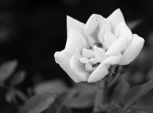 Free stock photo of black and white, blooming, rose