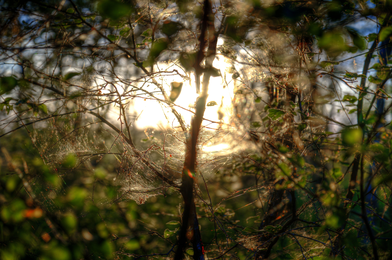 de amanecer, araña, árbol, color