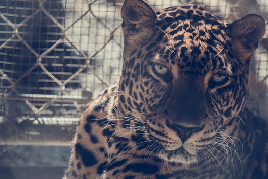 Brown Leopard on Chain Link Fence