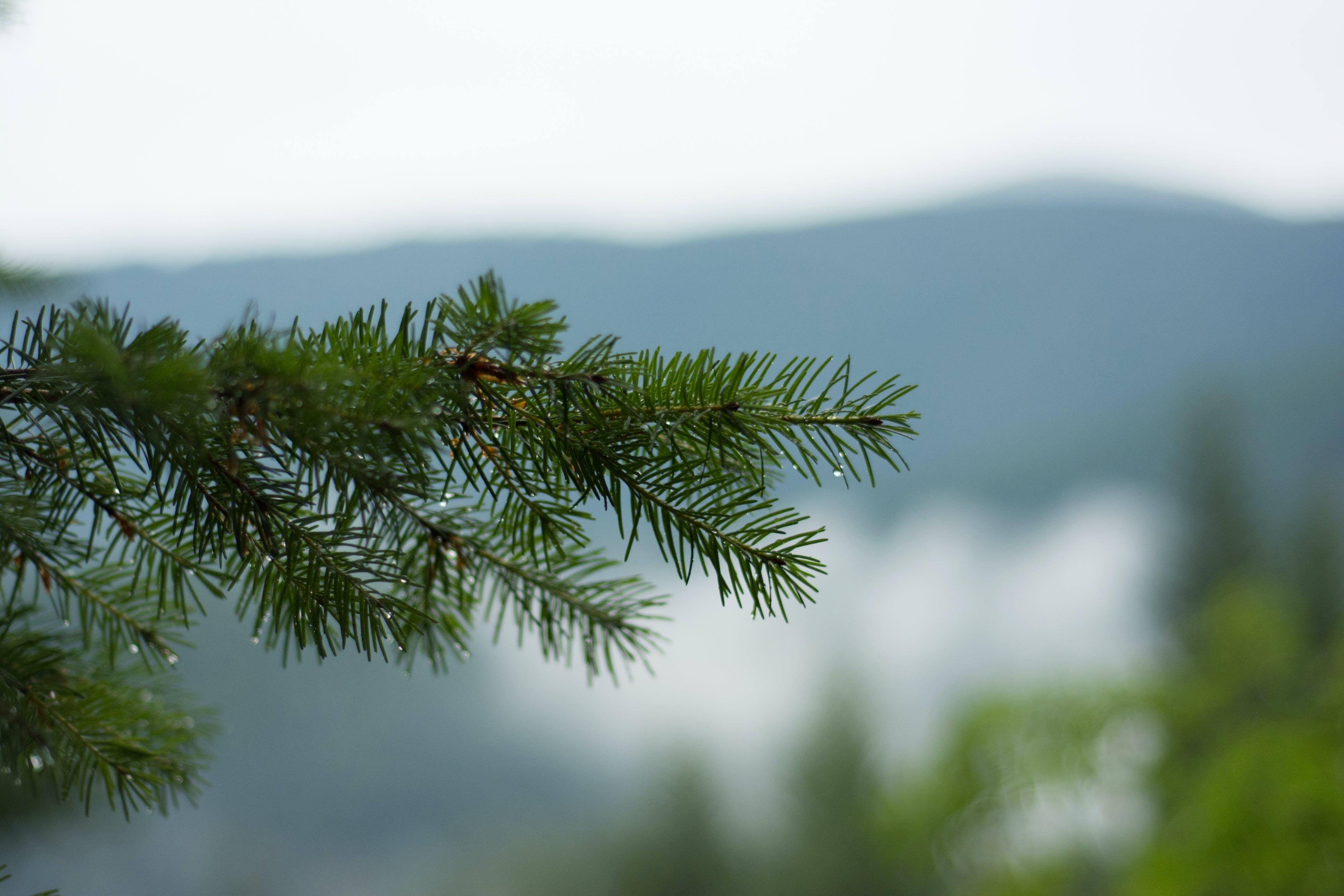 Free stock photo of branch, pine, tree