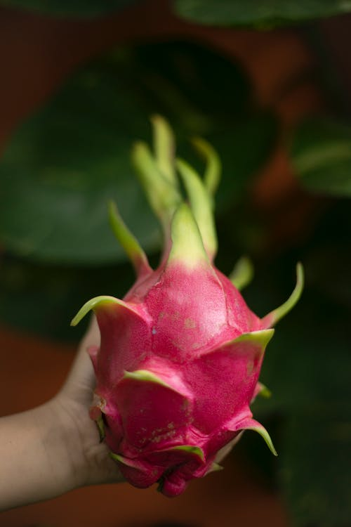 Crop person showing pink dragon fruit against blurred greenery