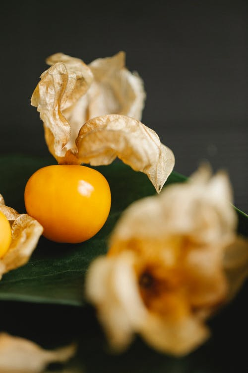Fresh ripe amber sweet winter cherry with dry pale physalis flowers on table