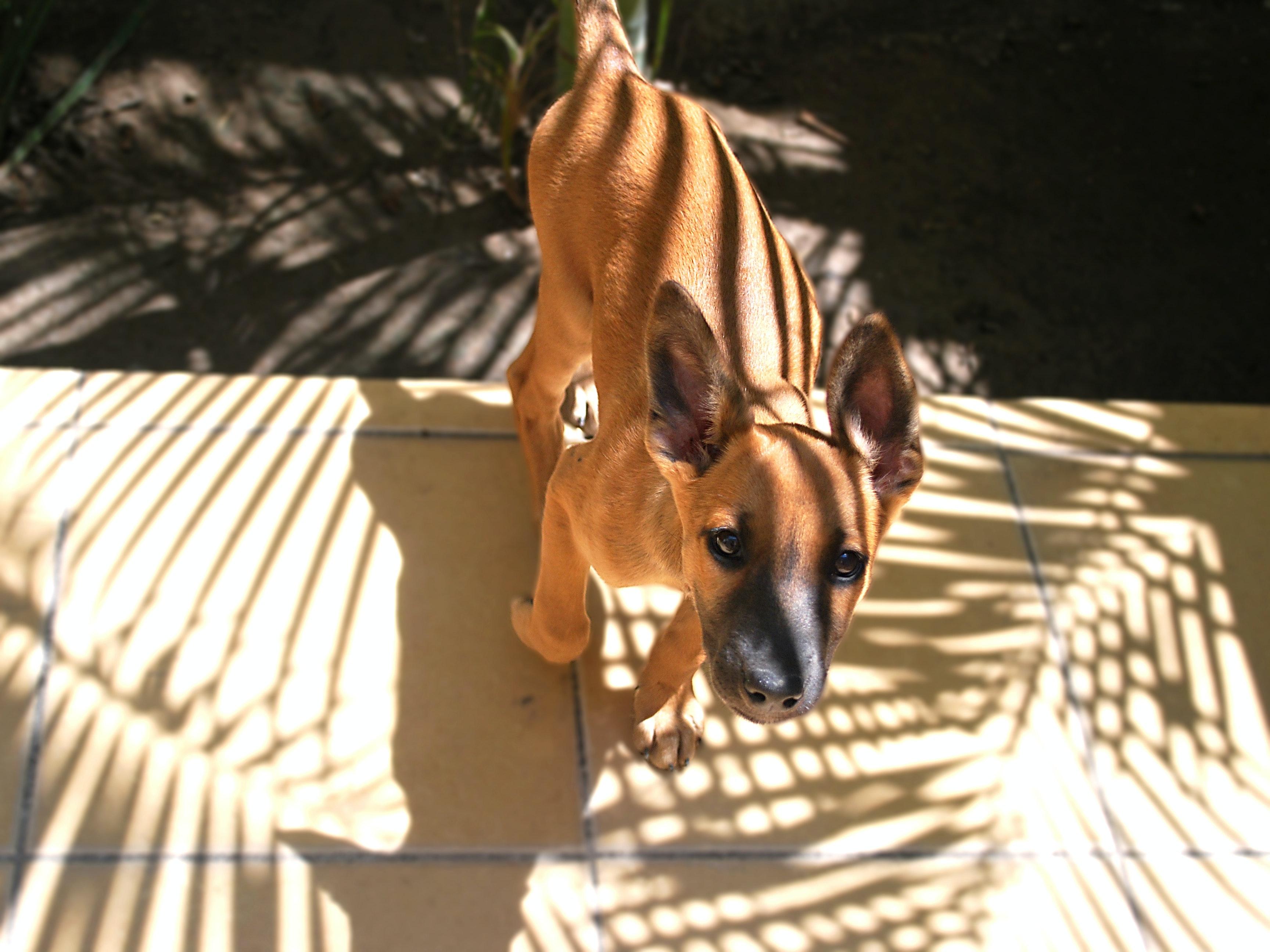 Free stock photo of animal, belgian shepherd, dog