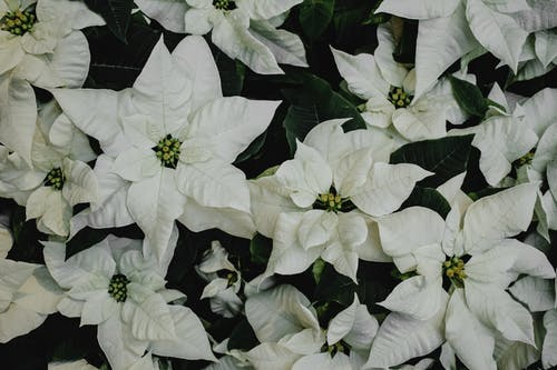 White Leaves of Poinsettia