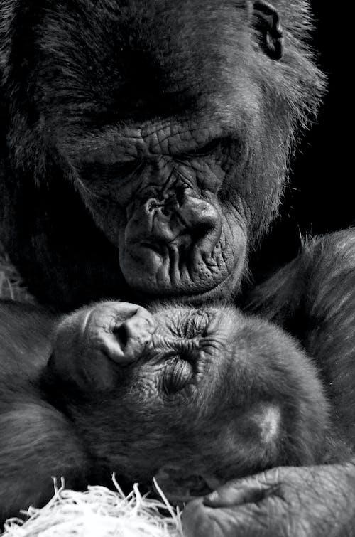 Monochrome Photo of Gorillas