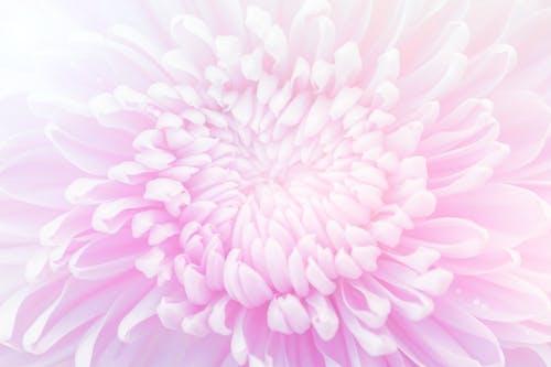 Бесплатное стоковое фото с ботанический, лепестки, максросъемка, одинокий