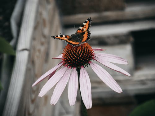 Orange Black and White Butterfly on Pink Flower