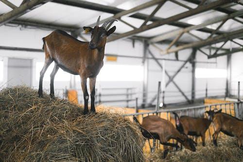 Immagine gratuita di agricoltura, animale, azienda agricola
