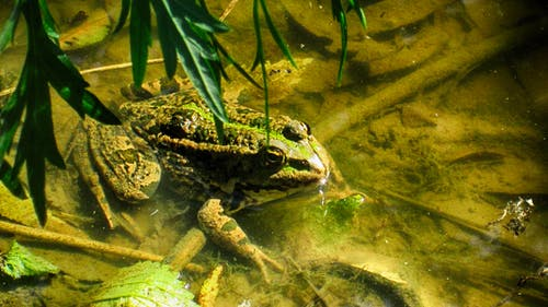 Free stock photo of green frog, mud, wilderness