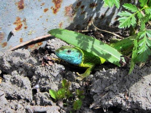 Free stock photo of green, lizard, rusted