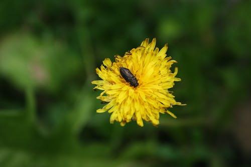 Free stock photo of bug, romania, yellow flower