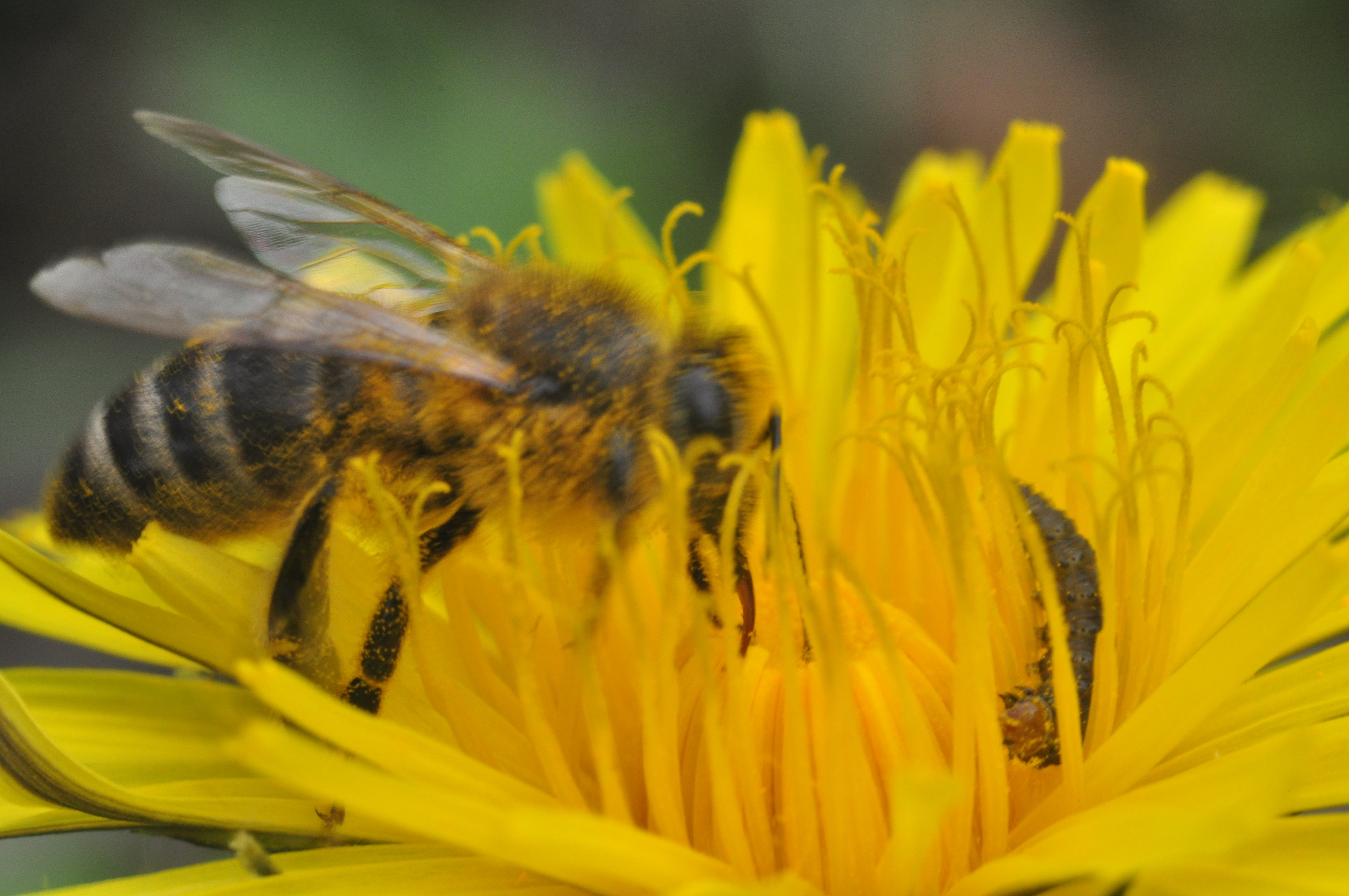 Free stock photo of bee, dandelion, insect, insect on flower
