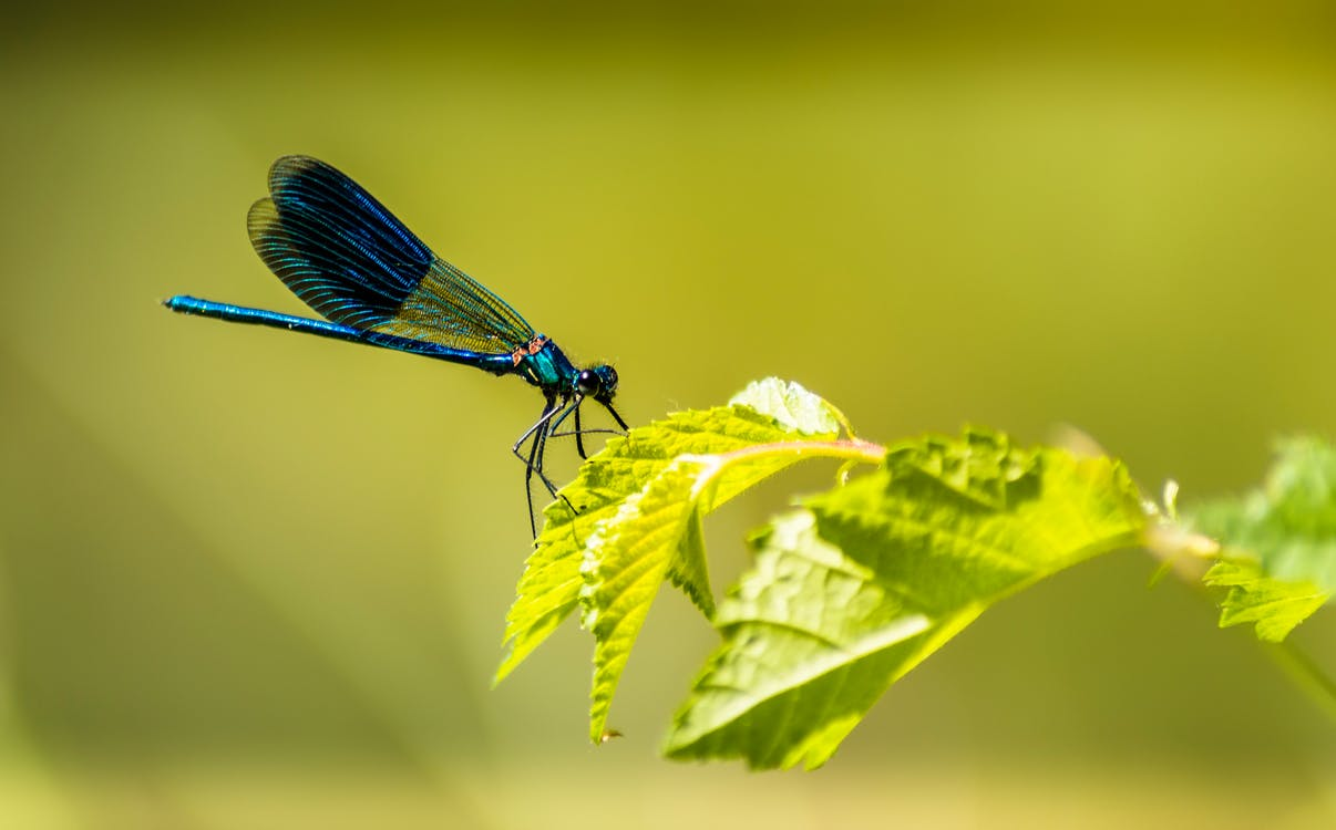 Blue Damselfly Perched on Green Leaf in Close Up Photography