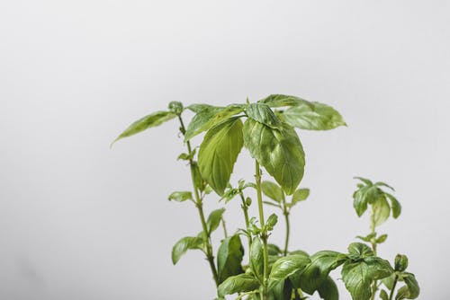 Close-Up Photo of Green Basil Leaves