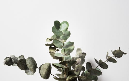 Green Eucalyptus with thin stems and thin foliage growing in daylight on white background