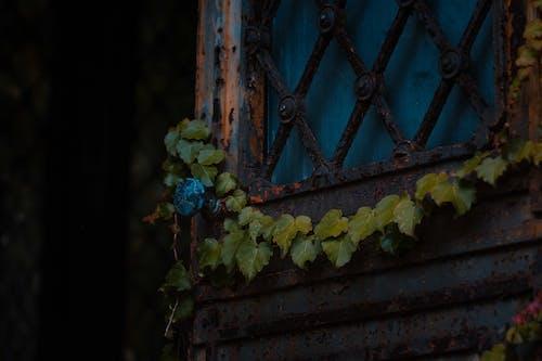 Rusty metal door with climbing plant