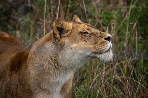 Close-Up Shot of a Lioness on a Grassy Field