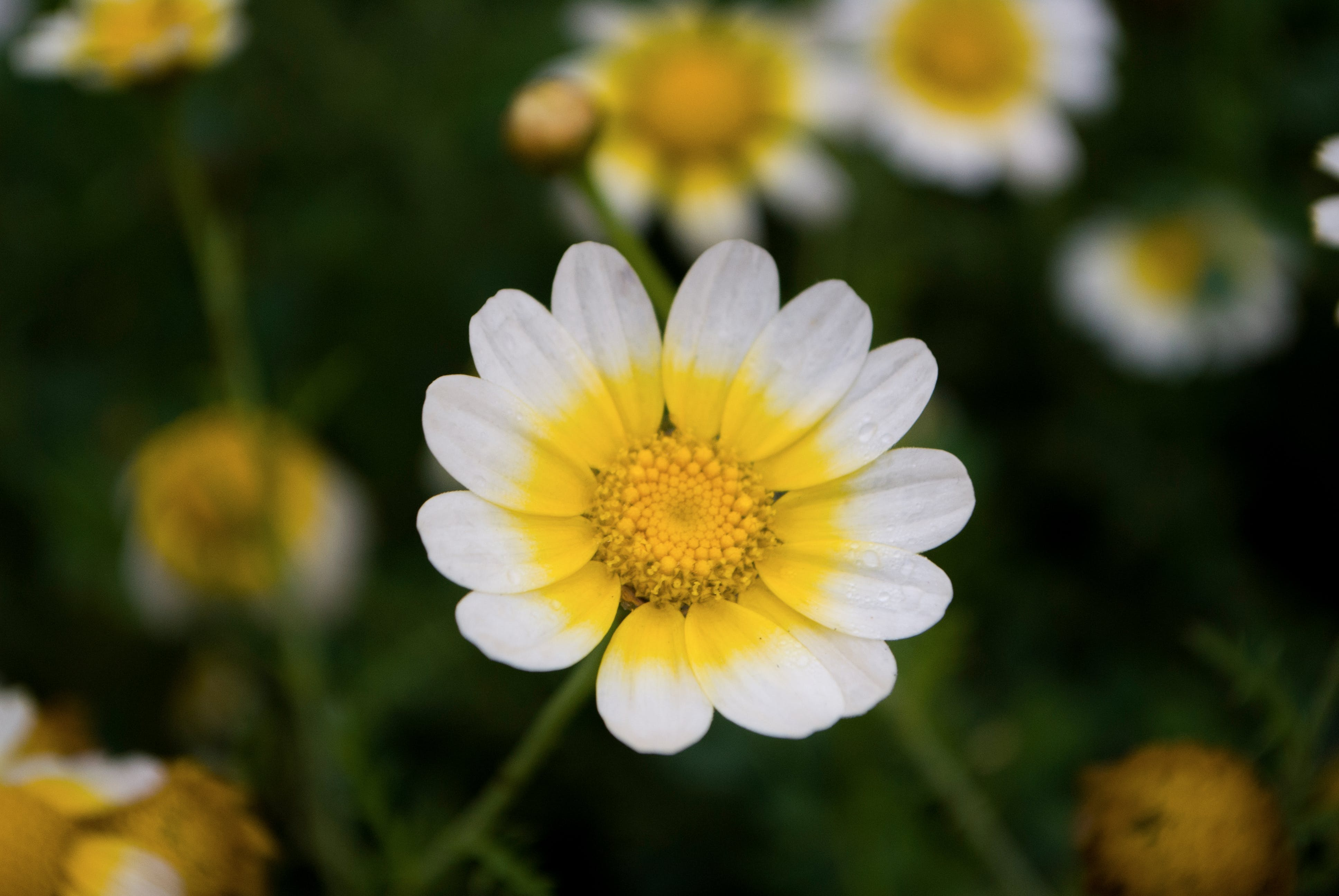 Shallow Focus Photography of Daisy Flower