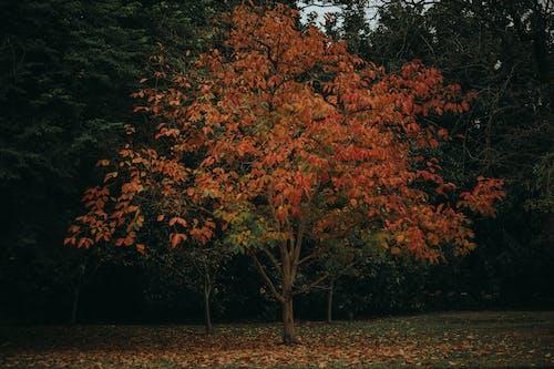 Orange Leaf Tree on Green Grass Field