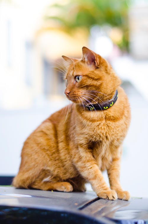 Ilmainen kuvapankkikuva tunnisteilla eläin, katsominen, kaulapanta, kissa