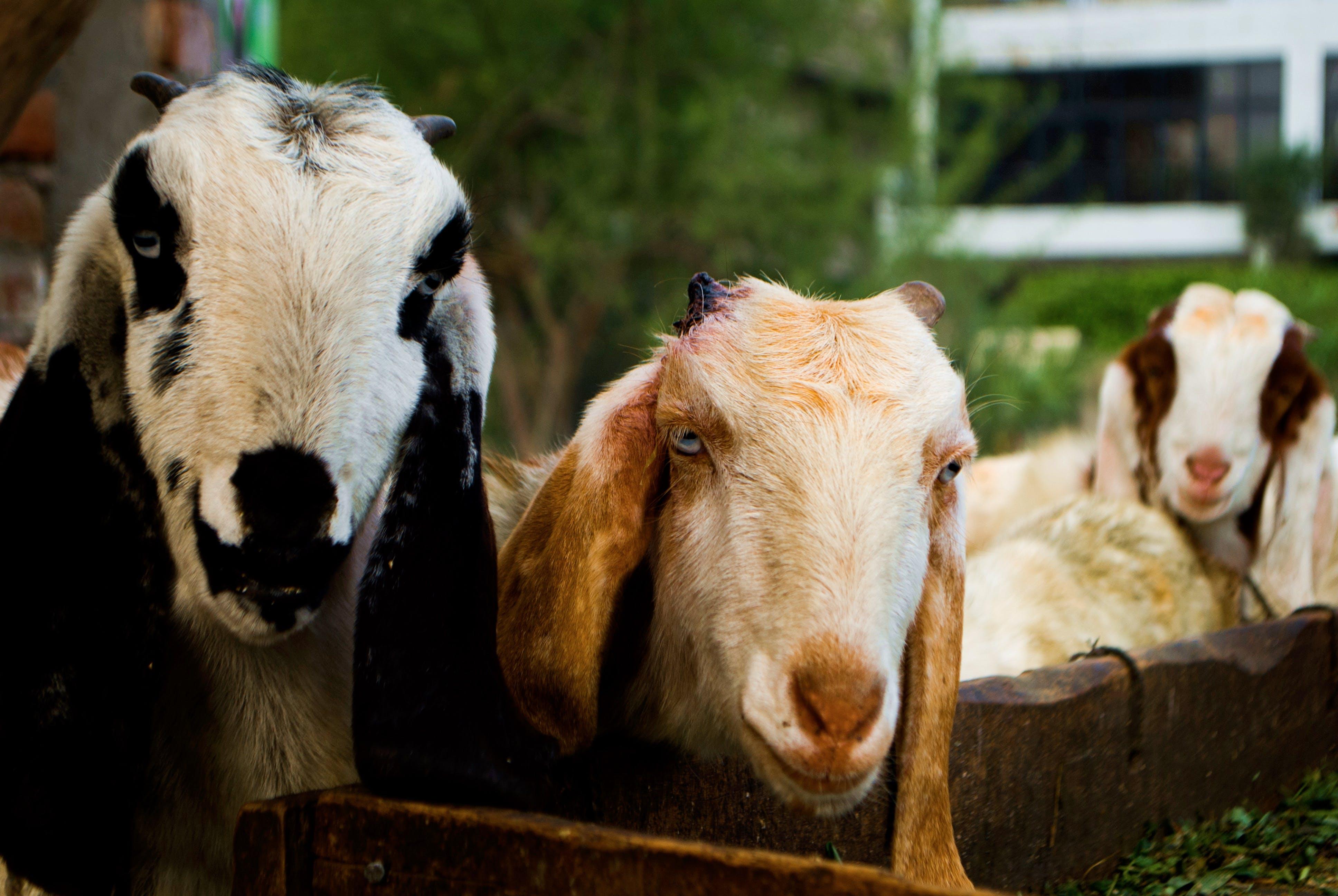 Free stock photo of animal photography, domestic animal, goat
