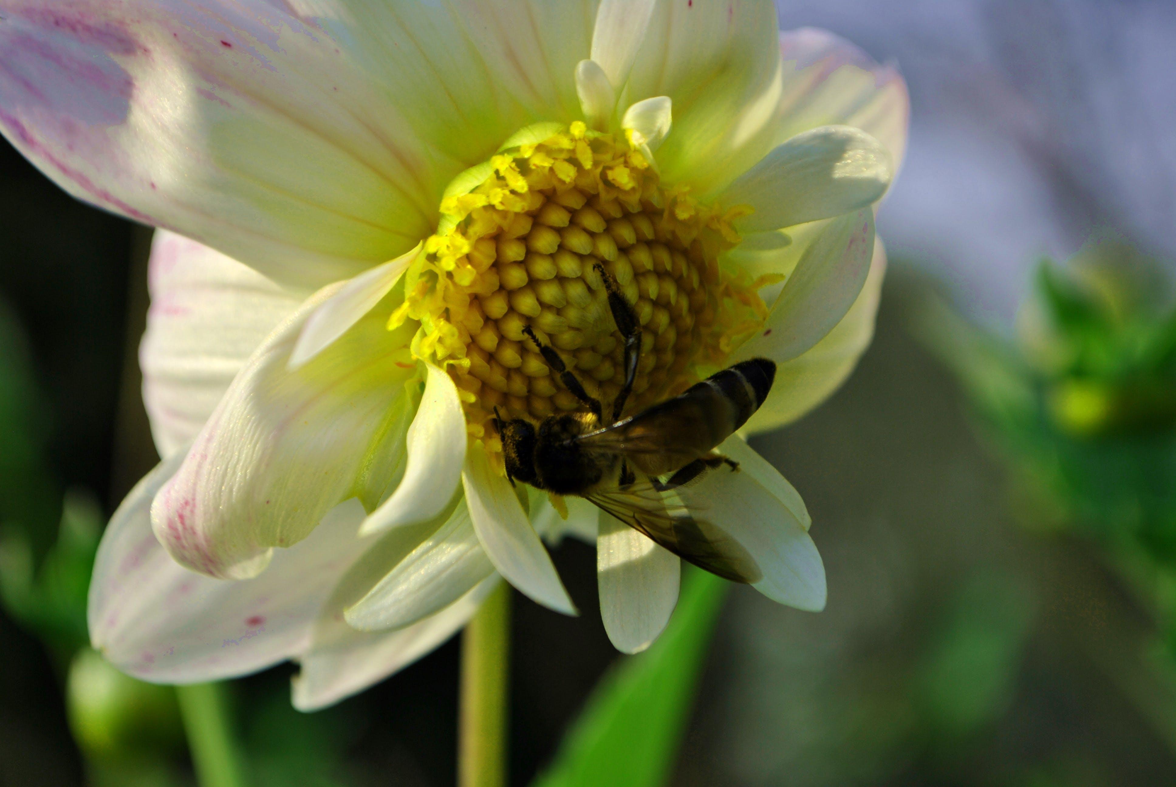 Free stock photo of bee, flowers, honeybee