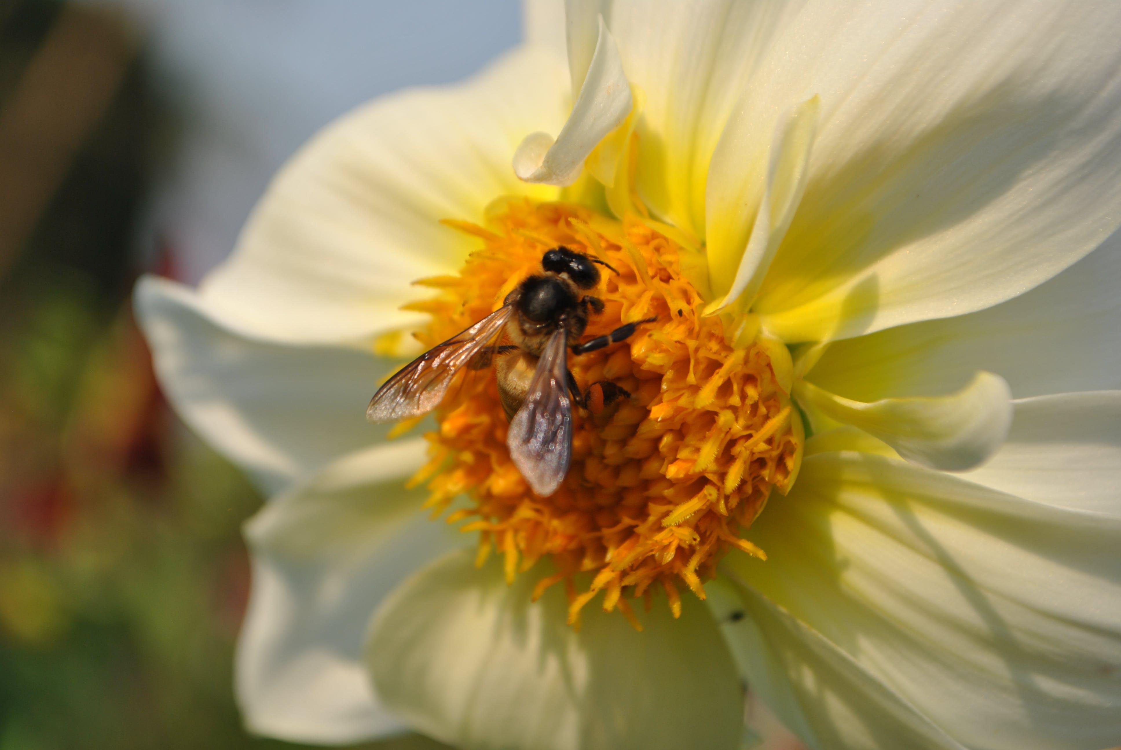 Free stock photo of flowers, honeybee