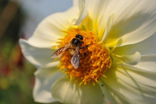 Základová fotografie zdarma na téma květiny, včely medonosné