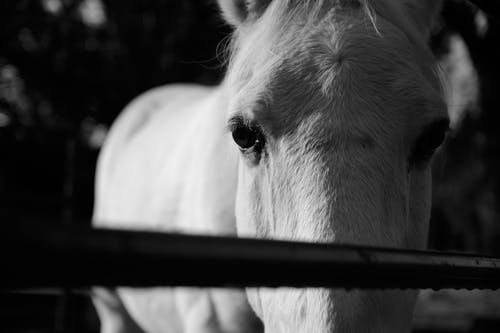 Grayscale Photo of a Horse's Head