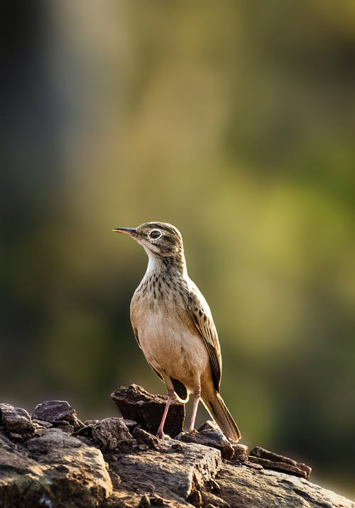 Wild lark with brown plumage standing on rocky surface in wild nature against green plants on blurred background in forest