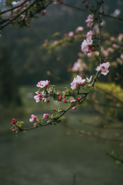 Blooming cherry tree in spring nature