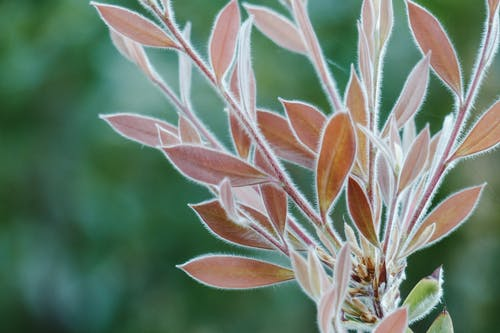 Delicate soft leaves of plant with thin villi on twigs growing in nature