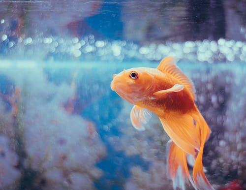 Orange Fantail Goldfish in a Fish Tank