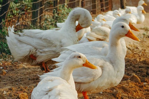 Imagine de stoc gratuită din afară, alb, animal