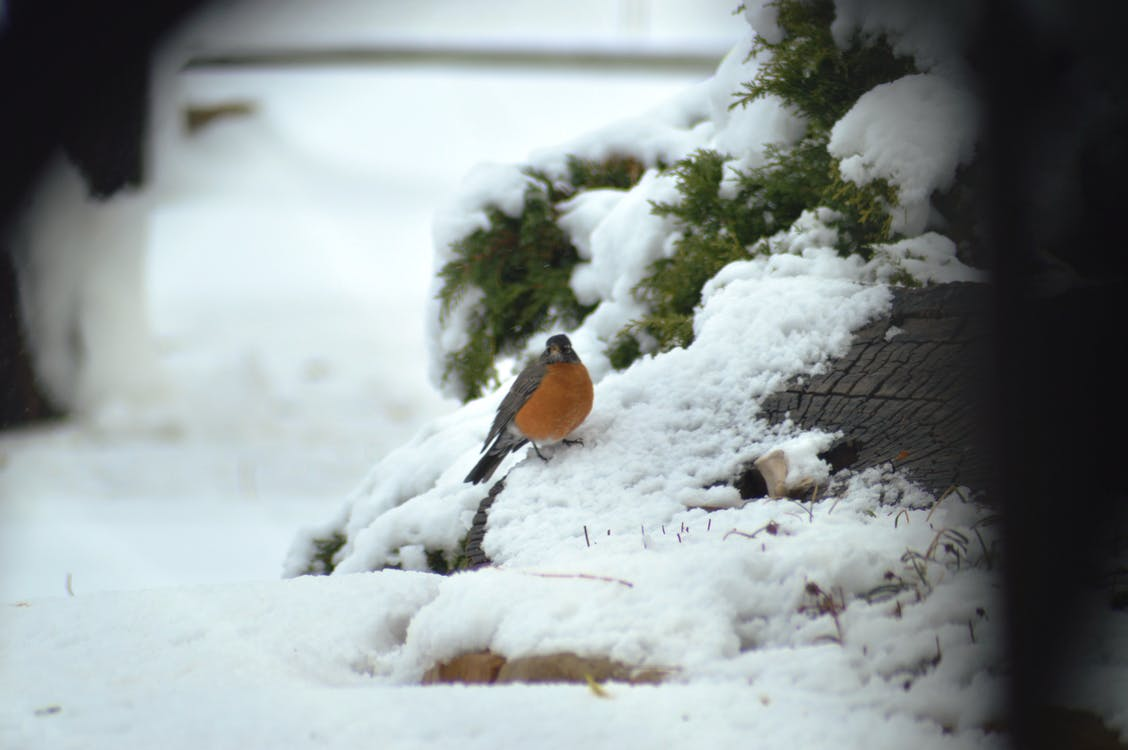 Free stock photo of A Robin in winter